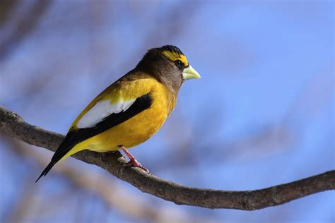 canada 2012 colorful birds golden evening grosbeak on