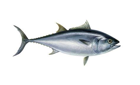 cucinare il tonno rosso specie ittiche in cucina tonno rosso thunnus thynnus