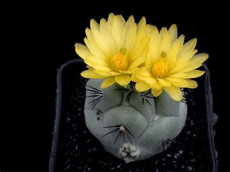 the most beautiful cactus flowers