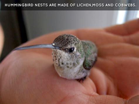 hummingbird facts by patrick johnson