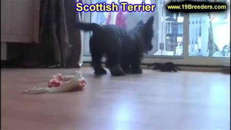 puppies for sale in ky craigslist scottish terrier puppies dogs for sale in louisville kentucky ky 19breeders