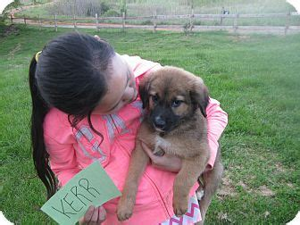 puppies for adoption nh nashua nh german shepherd mix meet kerr a puppy for adoption