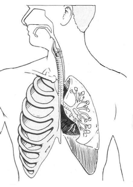 respiratory system unlabelled diagram human respiratory system unlabeled diagram