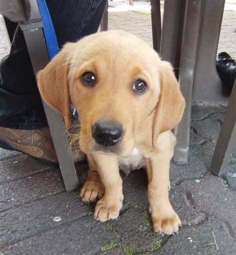 golden retriever mixed with lab golden retriever lab mix