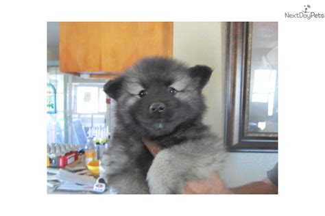 keeshond puppies for sale near me keeshond puppy for sale near gold country california 38339777 1f31