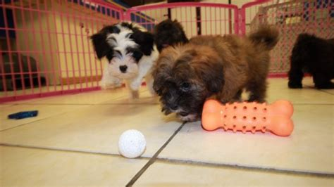 shih poo puppies for sale local puppy breeders choice shih poo puppies for sale in georgia at puppies