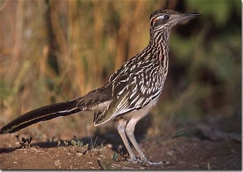 roadrunner state bird of new mexico