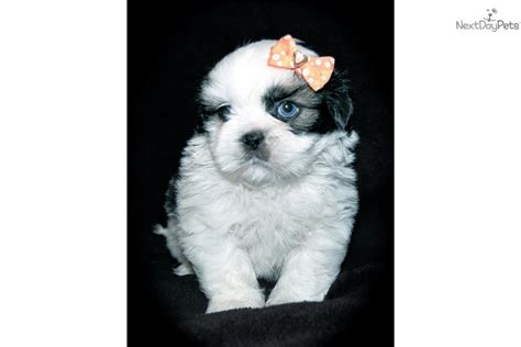 free puppies fort wayne indiana shih tzu puppy for sale near fort wayne indiana 071f33b7 6221