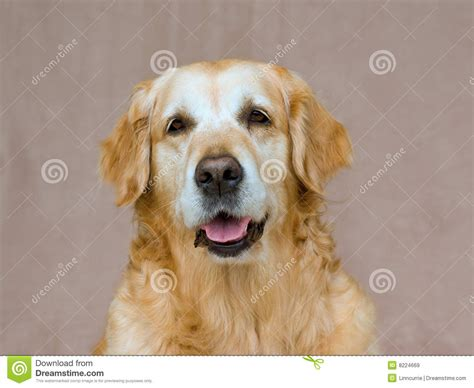 golden retriever friendly beautiful friendly golden retriever portrait royalty free stock images image 8224669