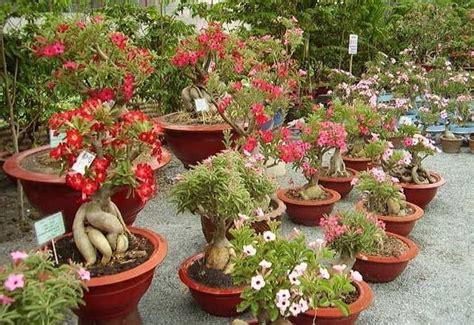 Pupuk Untuk Bunga Kamboja cara merawat bunga adenium di rumah tanaman hias