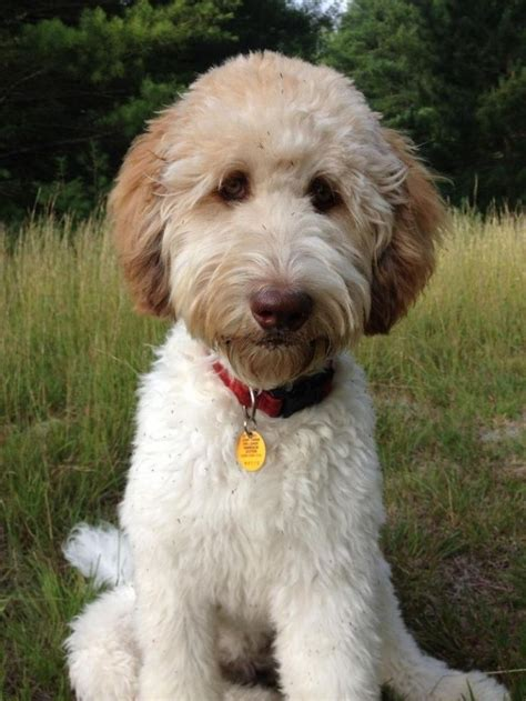 goldendoodle hair types 25 best ideas about goldendoodle haircuts on pinterest
