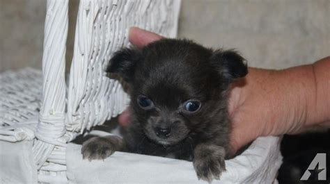 blue teacup chihuahua puppies for sale blue teacup chihuahua puppies for sale in sugar land classified