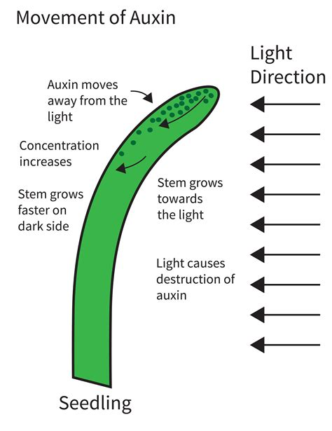 Hormon Auxin what are plant auxins and how do they affect plant growth