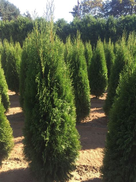 25 best ideas about emerald green arborvitae on