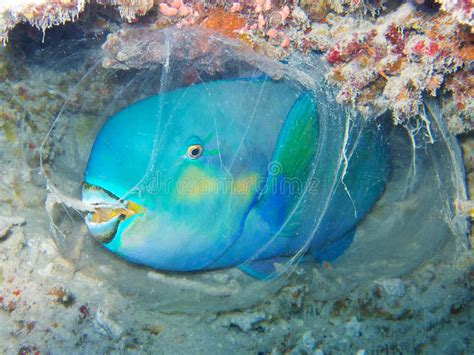 parrot fish sleeping   cocoon underwater