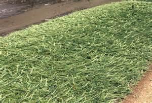 blue rug juniper ground cover juniper ground cover 28 images plant guide juniperus chinensis sargentii sargent
