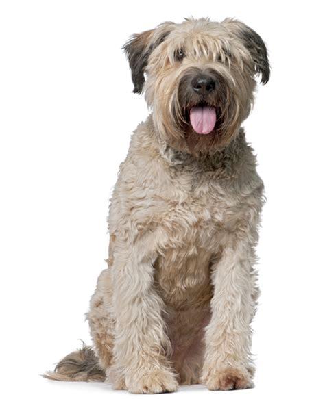 bouvier de flandres puppy bouvier des flandres breed information noah s dogs