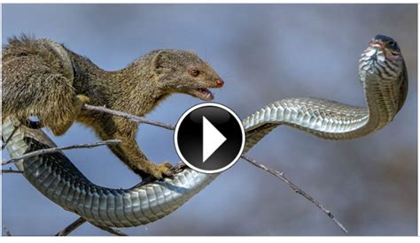 mongoose vs cobra snake honey badger vs cobra www imgkid com the image kid has it