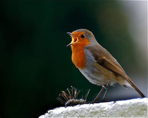 singing robin by ita martin on 500px birds pinterest