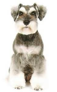 asian style schaunzer hair trim 1000 images about princess luna on pinterest schnauzers