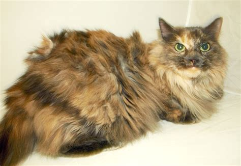 Matted Cat Fur Causes by Portland Cat Grooming Trained Groomers Cats In The City
