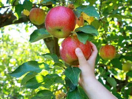 apple picking west island mommies