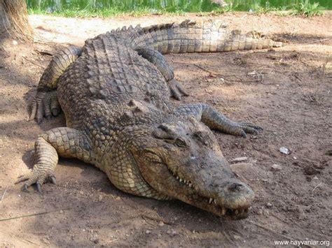 Kaos Printing Reptil gambar gambar buaya ganas dunia binatang di rebanas rebanas