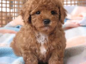 shitsu poodle with hair shih tzu cross toy poodle dog breed temperament and training