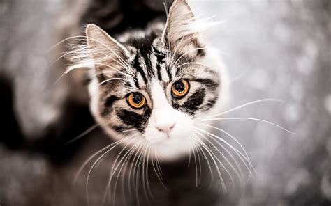 cat background 4k cat wallpapers high quality free