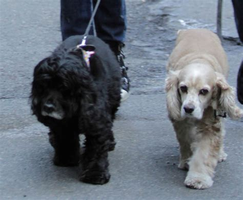 george s dogs george and amal clooney in new york with their dogs as george money with