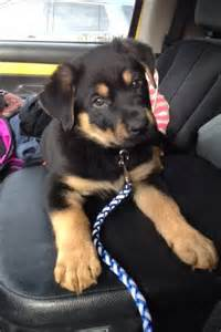 german rottweiler colors top 25 best rottweiler mix ideas on rottweiler lab mixes lab mixes and