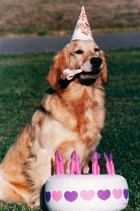 kathy s golden retrievers golden retriever birthday photograph by kathy sidjakov