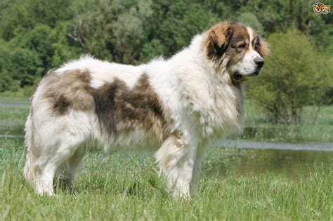 pyrenean mastiff puppies pyrenean mastiff breed information buying advice photos and facts pets4homes
