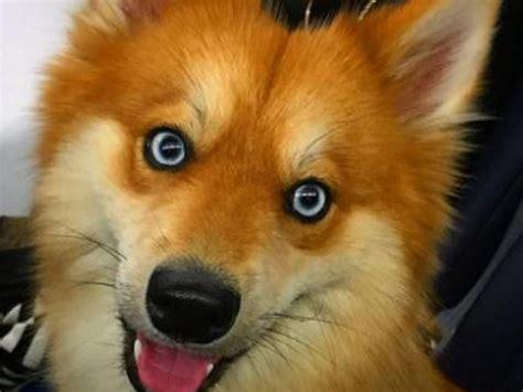 najpiekniejszy pies swiata przypomina lisa kobieta