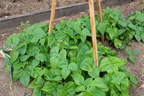 Gardening Green Beans Mavis Butterfield Backyard Garden Pictures 7 22 14 One
