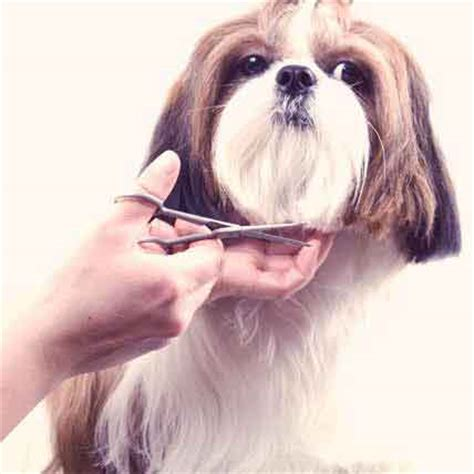 how often should you wash a shih tzu how to groom a petcarerx