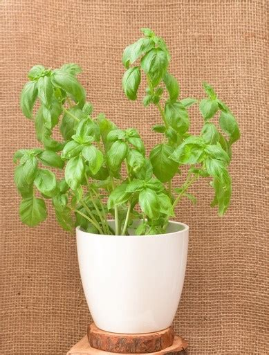 How To Grow Herbs Indoors How To Grow Basil From Seed Indoors