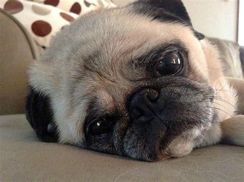 sad pugs extremely sad pugs