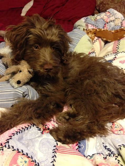 puppies portland 17 best images about aussiedoodle on washington state service dogs