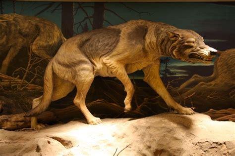 lobo gigante el terrible lobo gigante 187 lobopedia