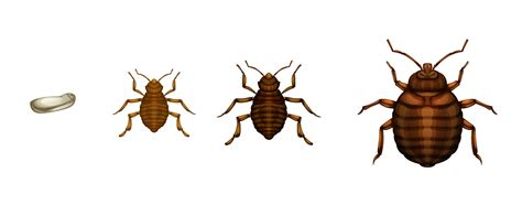D Bug S How To bed bug basics how to detect and remove bed bugs in nyc