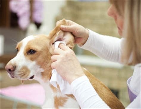 how to clean a s ears with infection how to clean a s ears