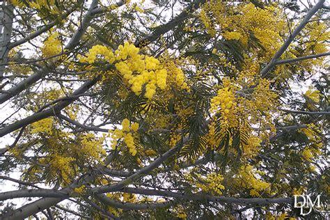 fiori nord mimose freddolose in futuro potrebbero crescere al nord