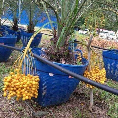 Bibit Kelapa Pandan Wangi herdinbisnis jual bibit kurma dan kelapa kopyor