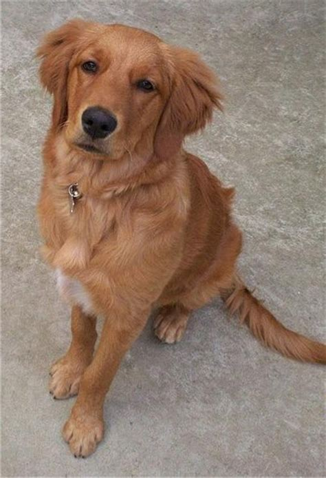 field bred golden retriever puppies golden retriever puppies breeders retrievers