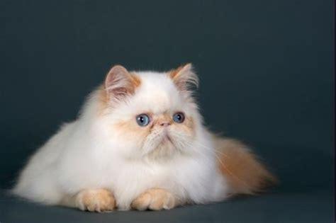 vendo gatti persiani gatto pelo lungo persiano tutto ze 29766
