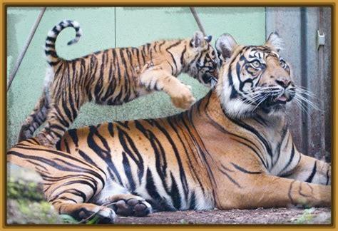 fotos animales tigres imagenes de animales tigres y leones archivos fotos de