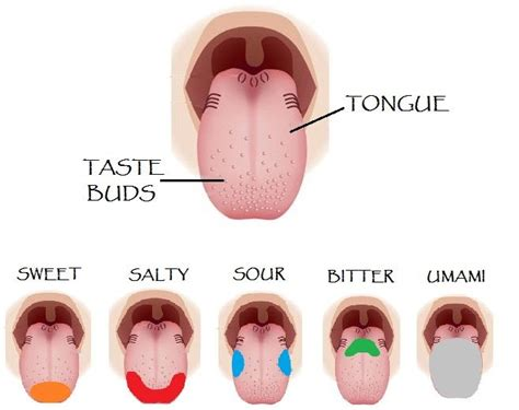 taste sections of the tongue 25 best ideas about tongue taste buds on pinterest