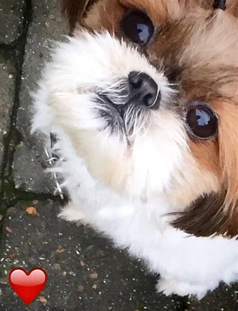 how much are shih tzu puppies worth 243 best images about shih tzu heaven on animals and pets dogs and puppies