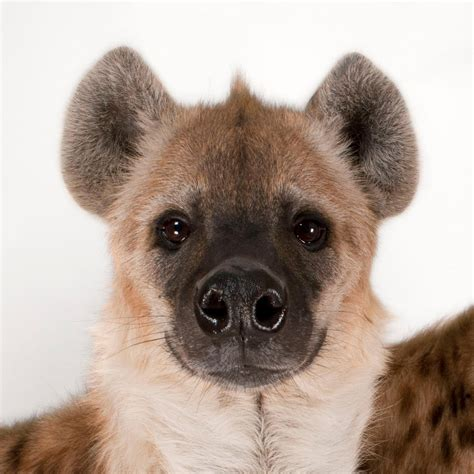 hyena cat or spotted hyena national geographic